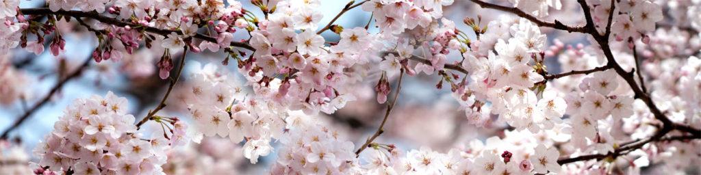 картинка для скинали сакура, изображение для кухонного фартука цветущая вишня, сакура для фартука, стеновая панель сакура