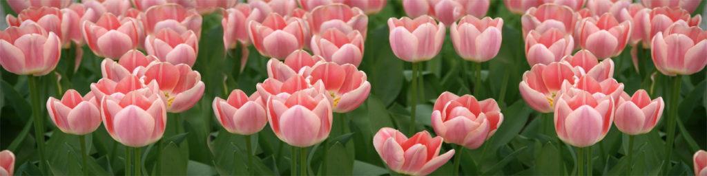 картинка для кухонного фартука тюльпаны