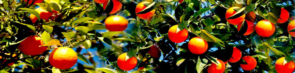 изображения для кухонных фартуков апельсиновая роща, деревья апельсины