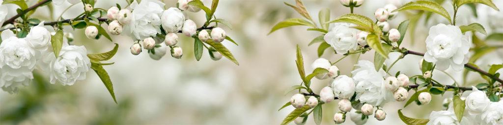 изображения для кухонных фартуков цветы. яблоня. цветы яблони, картинка для скинали нежные цветы
